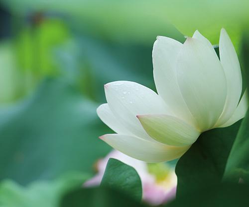 lotus_img_01.jpg
